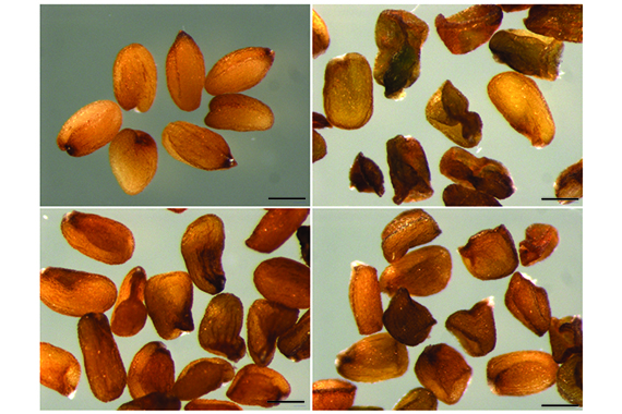 Small RNA mediates genetic parental conflict in seed endosperm
