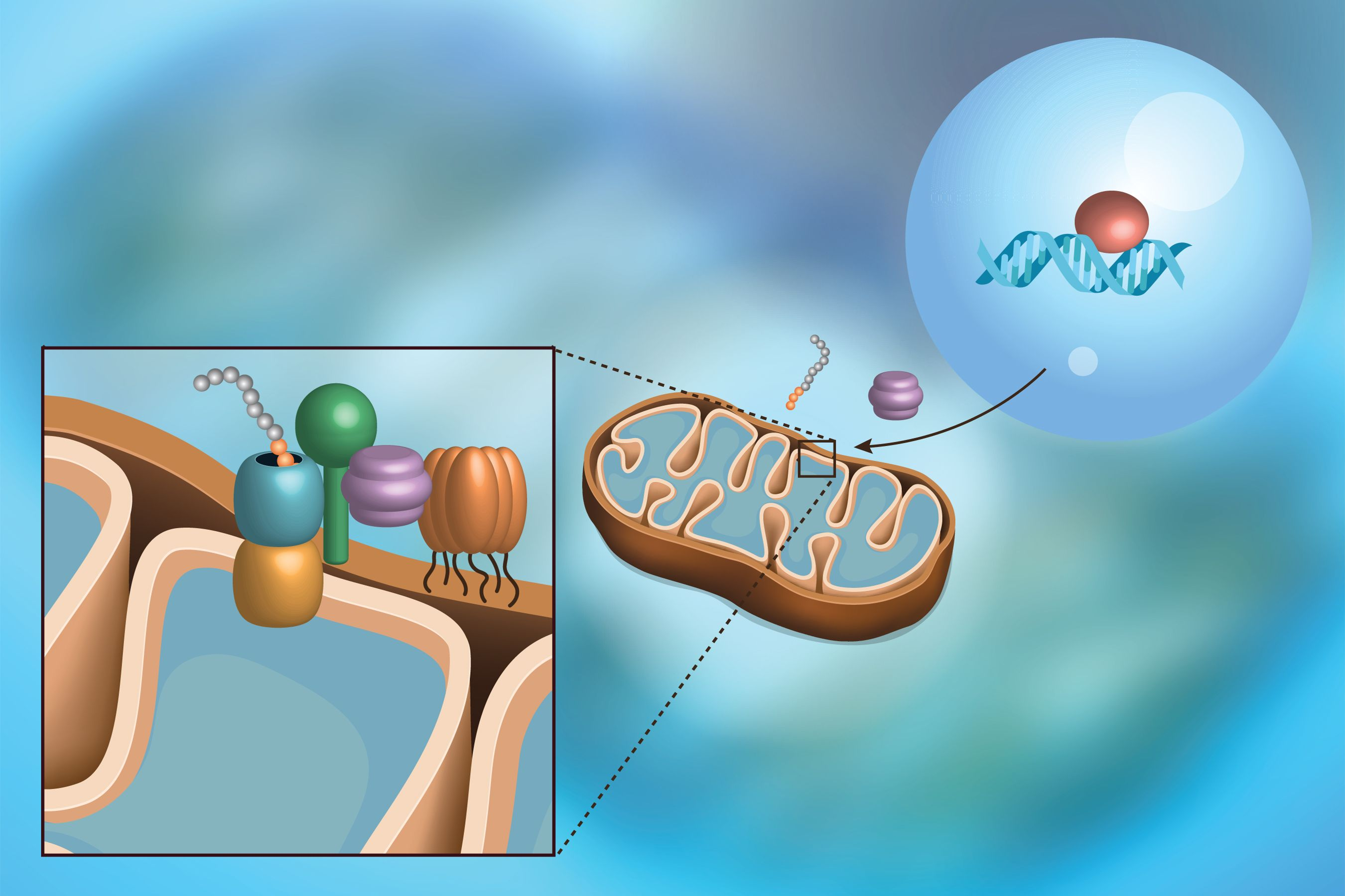 Countering mitochondrial stress
