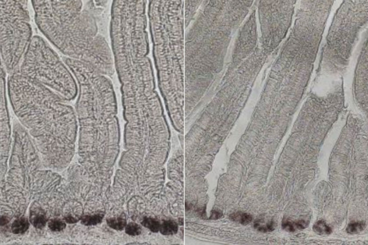 Biologists find a way to boost intestinal stem cell populations