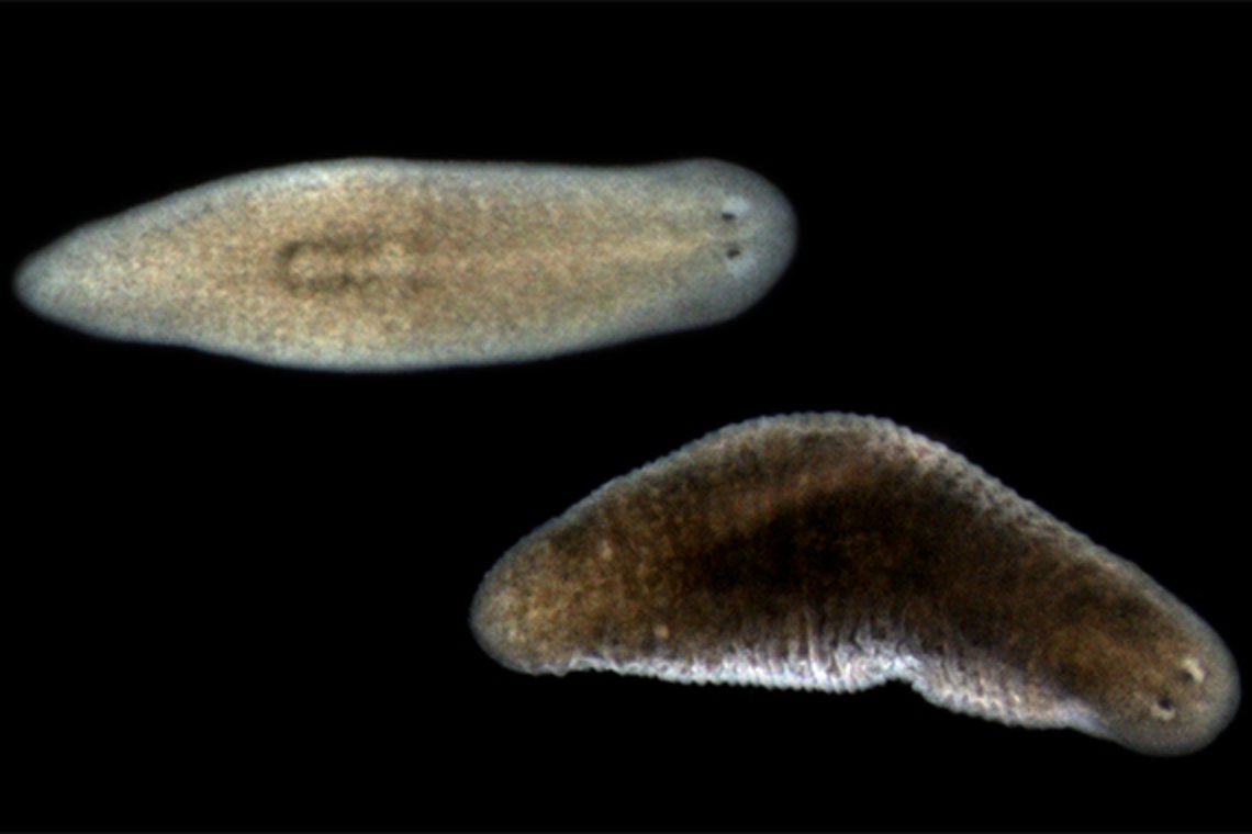 A supportive role for planarians' multifaceted muscle