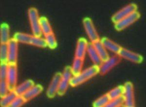Neon rod-shaped bacteria